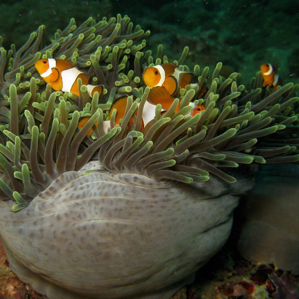 Nemo vuokkokala Phuket Safari Liveaboard Koh Lipe