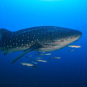 INTO Dive center sukellus Phuket valashai