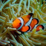Sukellus Phuket INTO Dive center Anemone fish clownfish vuokkokala