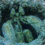 INTO Dive center sukellus Phuket Mantis shrimp