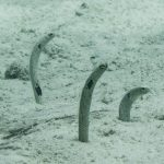 INTO Dive center sukellus Phuket garden eel