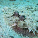 INTO Dive center sukellus Phuket kampela flounder
