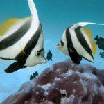 INTO Dive center sukellus Phuket Bannerfish